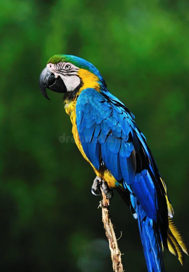 Beautiful blue-and-yellow macaw (Ara ararauna) stock images