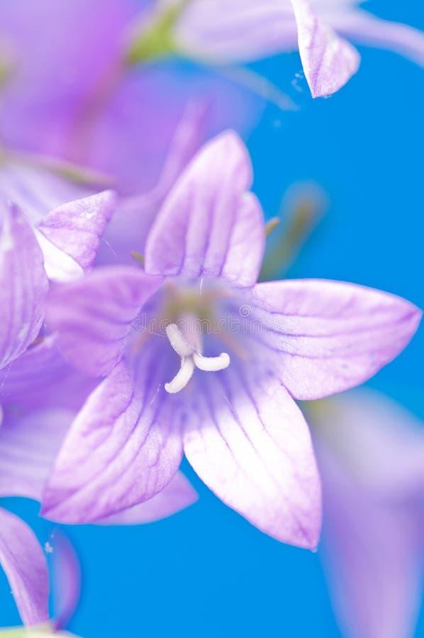 Beautiful Bluebell royalty free stock photos