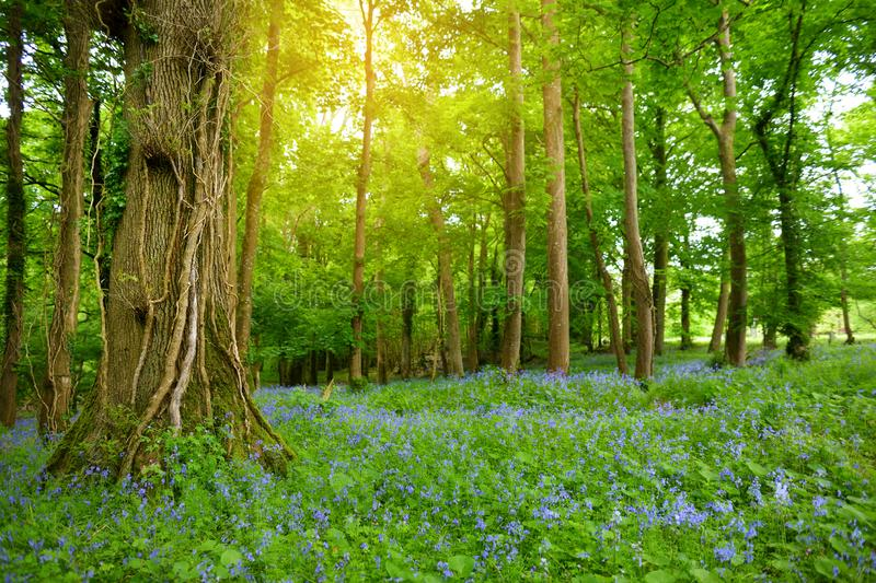 Beautiful bluebell flowers blossoming in the gardens of Ducketts Grove, County Carlow, Ireland. Beautiful bluebell flowers blossoming in the gardens of Ducketts royalty free stock photography