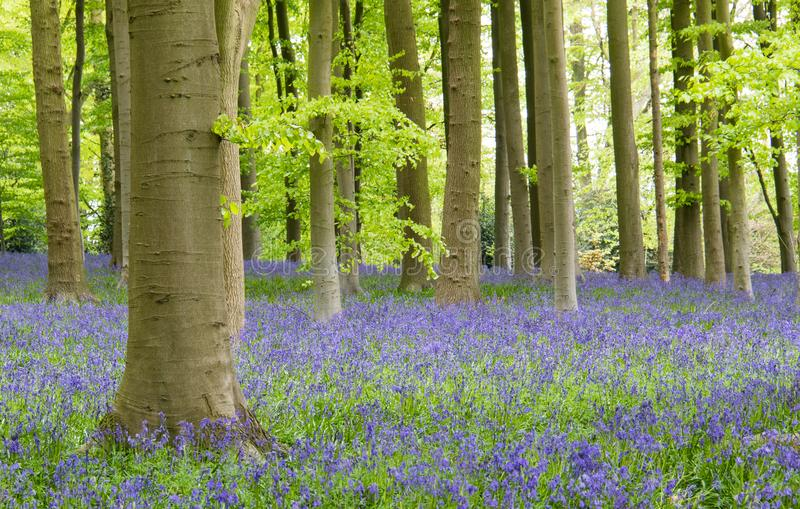 Beautiful Bluebell forest on a cloudy day. During spring at Coton Manor, UK stock images