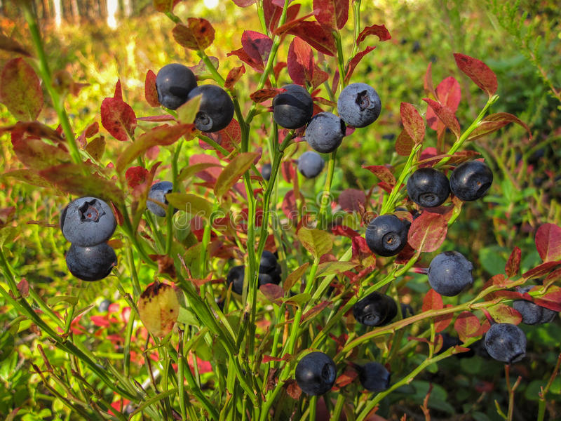 Beautiful blueberry Bush with ripe sweet berries growing royalty free stock photos