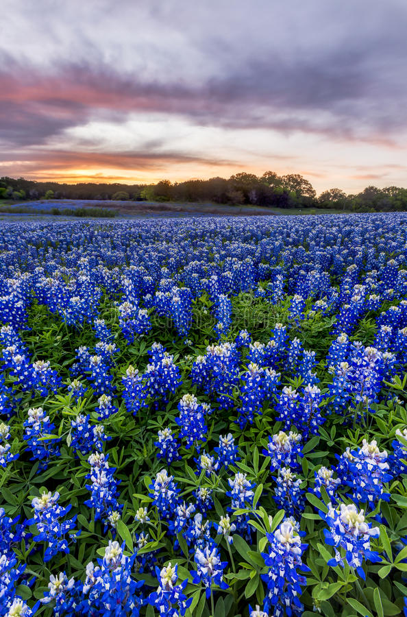 Beautiful Bluebonnets field at sunset near Austin, Texas in spri royalty free stock images