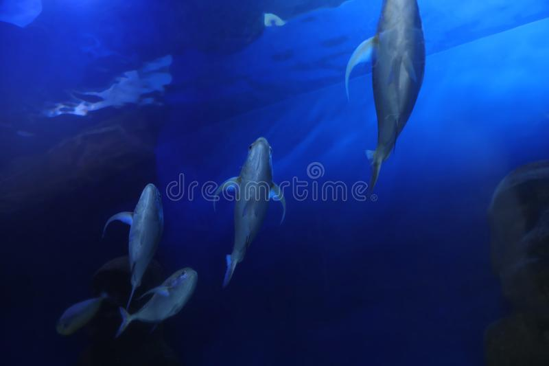 Beautiful bluefin trevally fish in aquarium, low angle view royalty free stock photography
