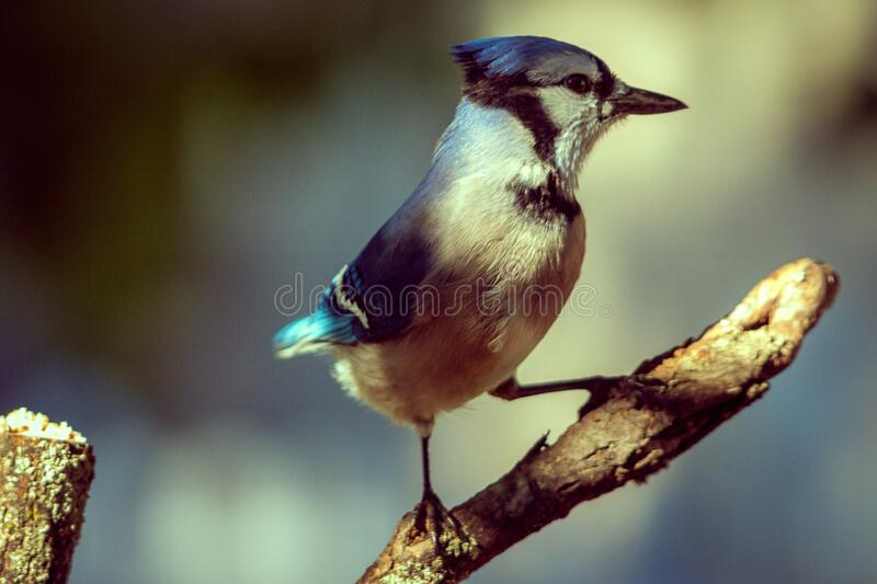 Beautiful Bluejay on a warm evening stock photo