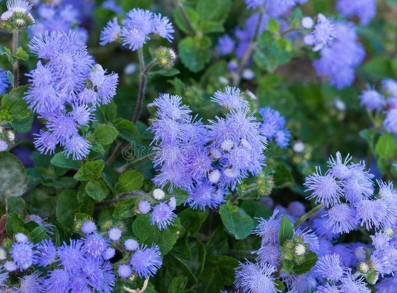 Beautiful bluish violet Ageratum in the flower bed. Floss flower Awesome leilani blue or ageratum blue bouque in green background, Alchemilla epipsila stock photo
