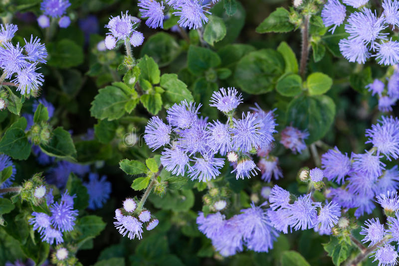 Beautiful bluish violet Ageratum in the flower bed. Floss flower Awesome leilani blue or ageratum blue bouque in green background, Alchemilla epipsila stock image