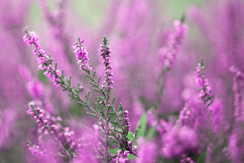 Beautiful blurry autumn heather flowers background stock images