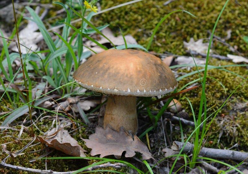 Forest boletus mushrooms on the ground. stock photos