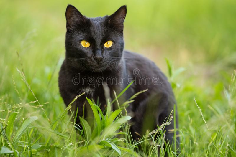 Beautiful bombay black cat portrait with yellow eyes and attentive look in green grass in nature. Beautiful bombay black cat with yellow eyes and serious royalty free stock photo