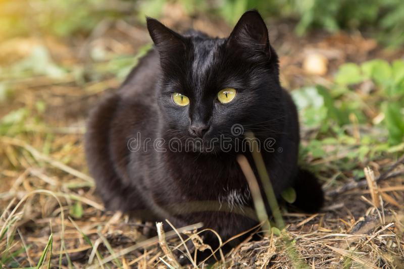 Beautiful bombay black cat with yellow eyes lies outdoors in nature, close up. Beautiful bombay black cat with yellow eyes lies outdoors in nature, portrait stock photo