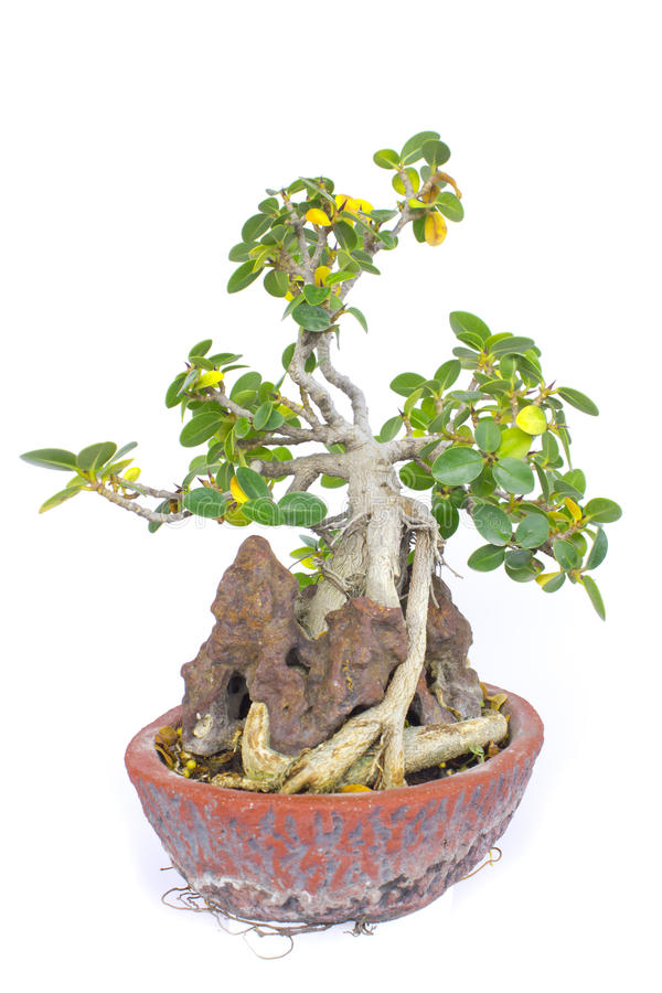 Rubber Plant Bonsai Photos Free Royalty Free Stock Photos From Dreamstime