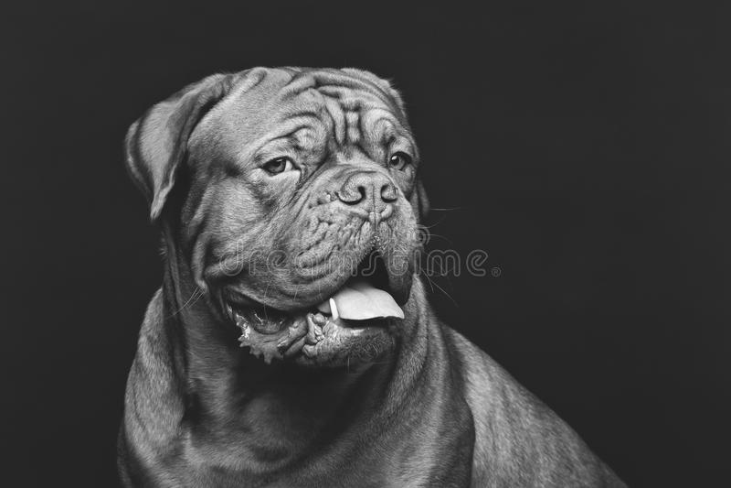 Beautiful bordeaux dogue dog stock photos