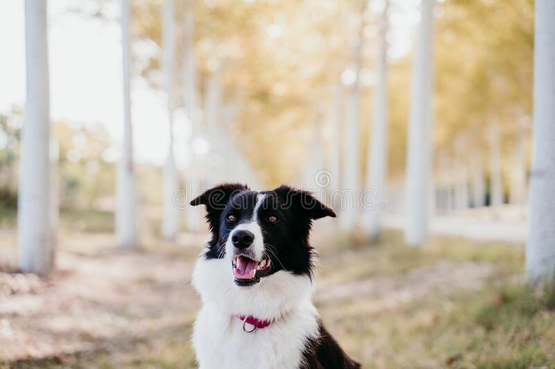 Beautiful border collie dog sitting in a path of trees outdoors royalty free stock image