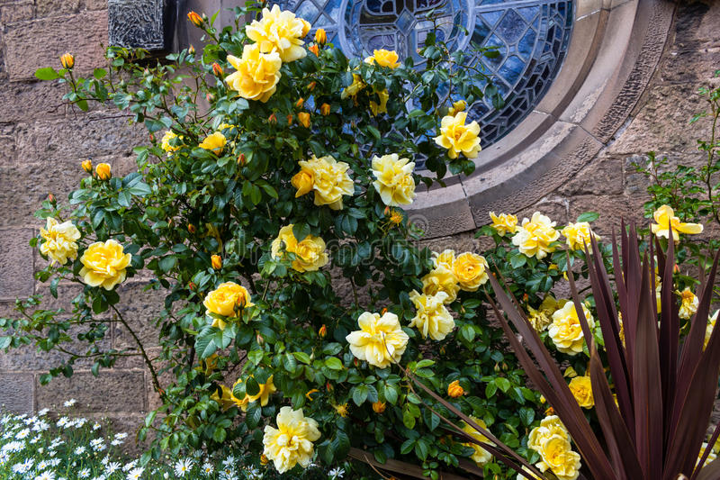 Beautiful Botanic Garden with yellow roses in Glasgow, UK, footage. Beautiful Botanic Garden with yellow climbing roses in Glasgow, UK, footage stock photos