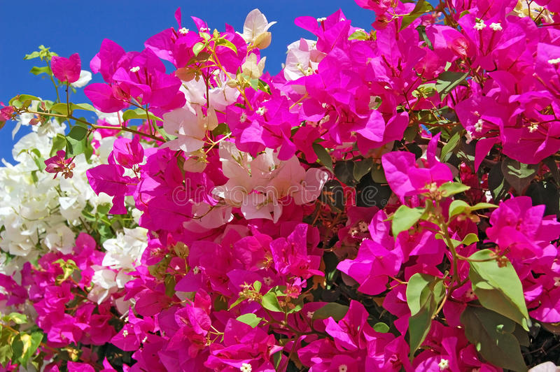 Beautiful bougainvillaea flower. On natural green background stock photo