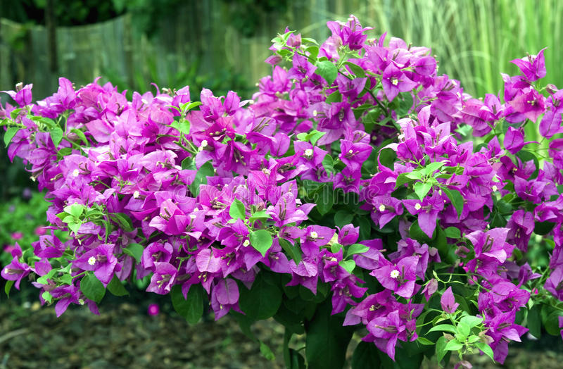 Download Beautiful Bougainvillea Flowers Stock Image - Image of green, gardening: 11192171