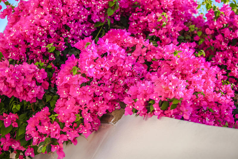 Beautiful bougainvillea on the old traditional stock images