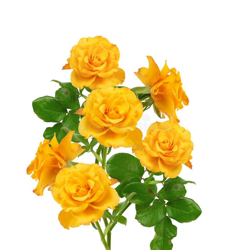 Beautiful bouquet of blooming yellow roses on green stems with leaves. Isolated on a white background stock photography