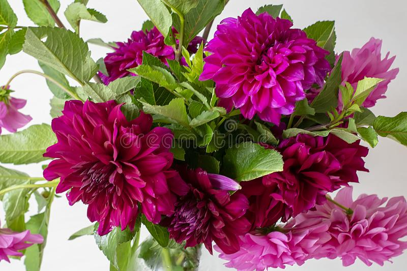 Beautiful bouquet of dark red, burgundy peonies on a white background. Fresh peony flowers with green leaves.  stock photos