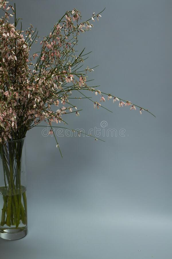 Beautiful bouquet of light pink genista cytisus flowers in a glass vase. Selective focus royalty free stock image