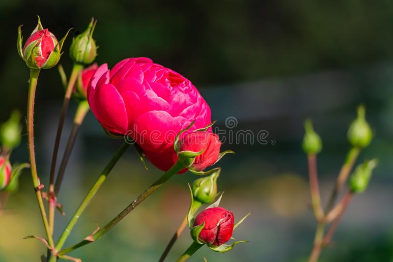 A beautiful bouquet of one red rose and red and green buds on a dark background royalty free stock photos