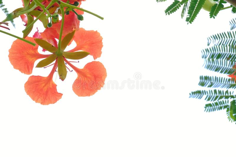 A beautiful bouquet of orange peacock flower blossom on white isolated background. Beautiful bouquet orange peacock flower blossom white isolated background stock photos