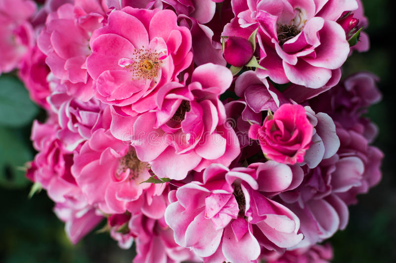 Beautiful bouquet of pink roses in rose garden.  stock images