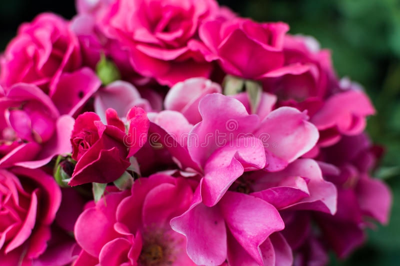 Beautiful bouquet of pink roses in rose garden.  stock image