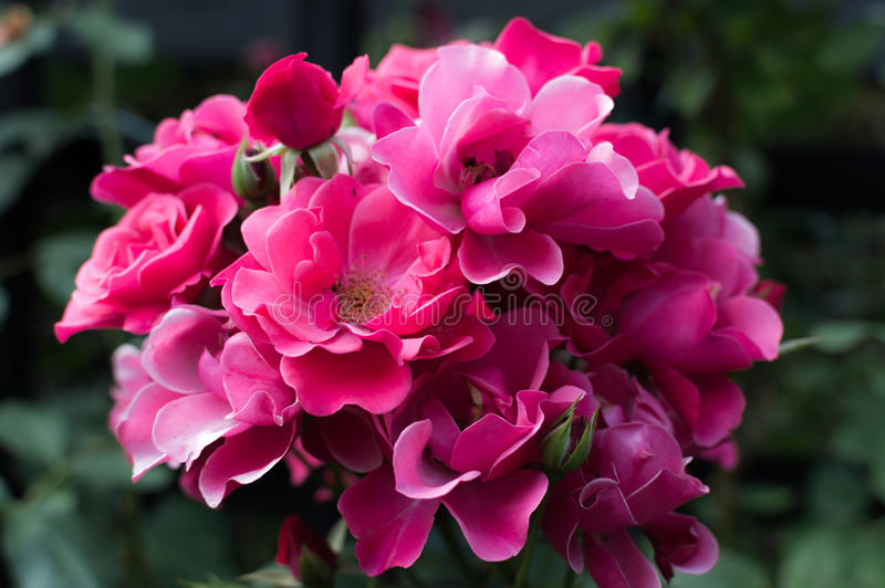 Beautiful bouquet of pink roses in rose garden.  stock photos