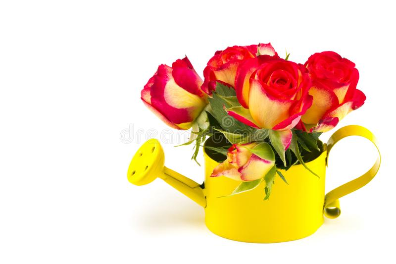 Beautiful bouquet of red roses in watering can, isolated on whit royalty free stock photo