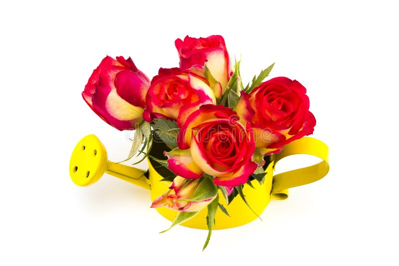 Beautiful bouquet of red roses in watering can, isolated on whit stock images