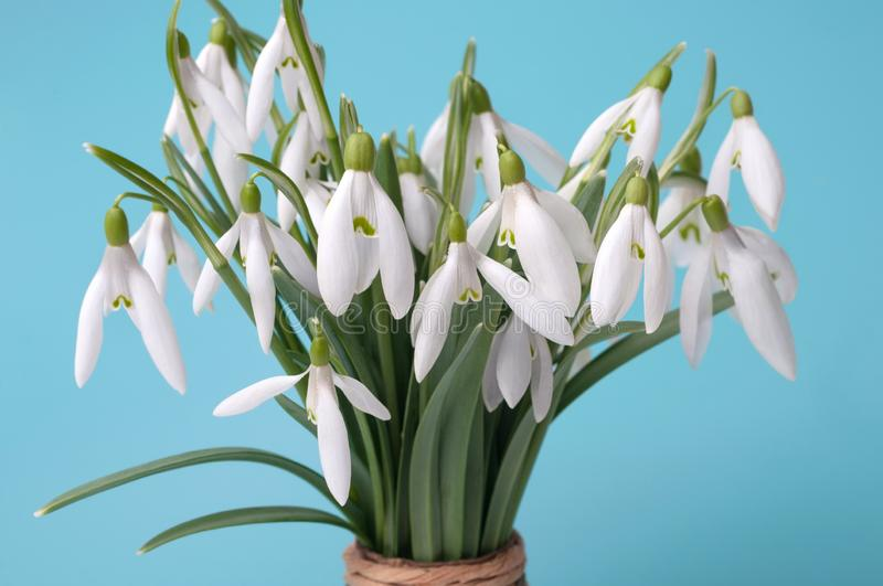 Beautiful bouquet of snowdrops on the table on a blue background. The concept of a winter end. The first spring flowers royalty free stock photo