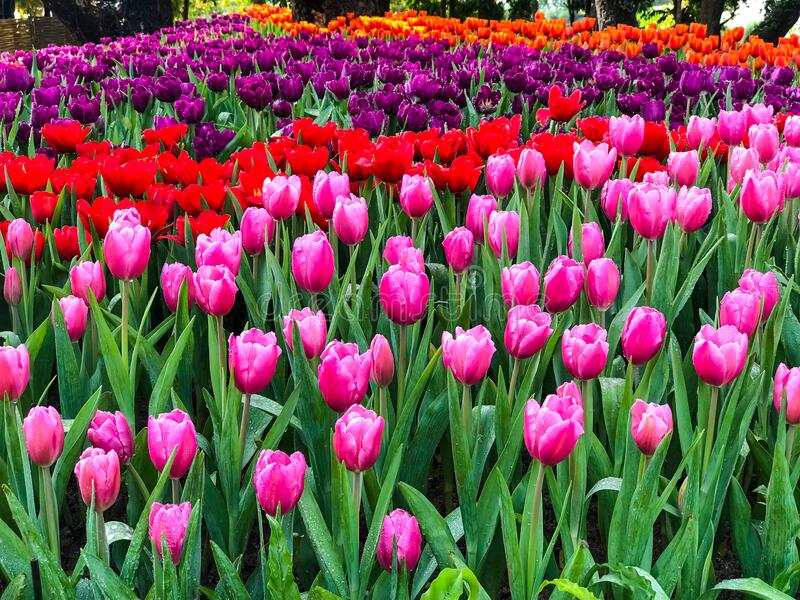Beautiful bouquet of tulips flowers. In the garden stock images