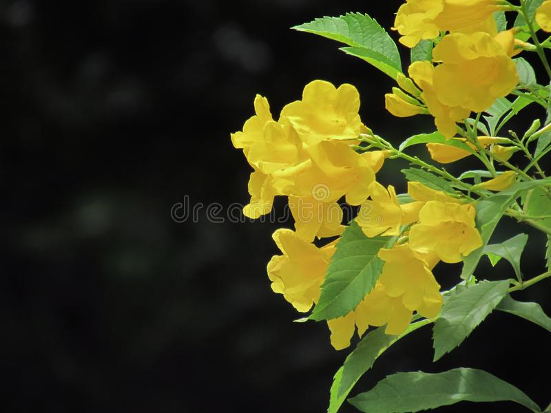 Beautiful bouquet of Yellow elder flower, Trumpetbush, Trumpetflower, Yellow trumpet-flower, are blooming against dark background.  stock images