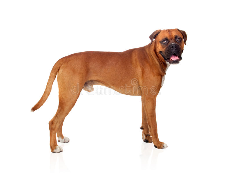 Download Beautiful Boxer dog stock image. Image of bulldog, lying - 26956513