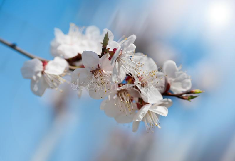 Beautiful branch apricots against the background of the blue sky. The spring has come royalty free stock image