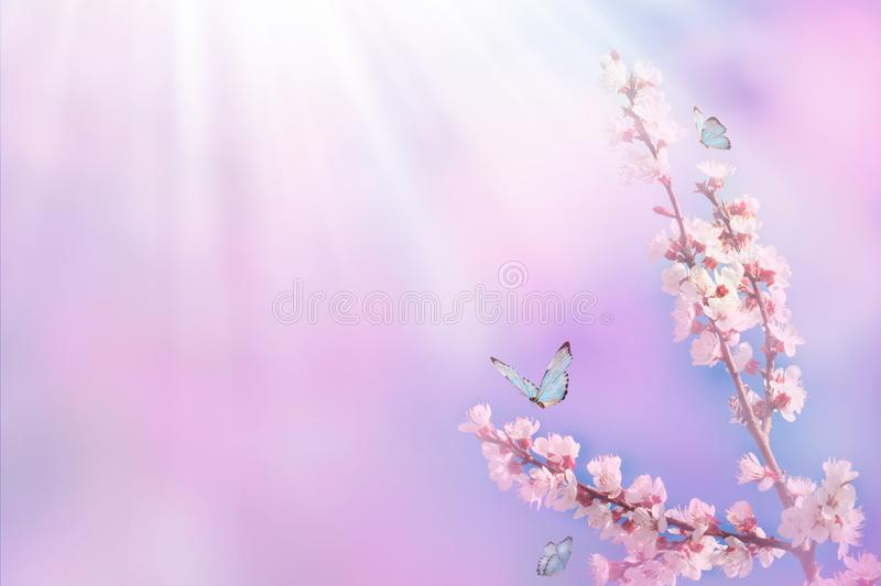 Beautiful branch of blossoming cherry and blue butterfly in spring at Sunrise morning on pink background, macro. Amazing elegant royalty free stock photography