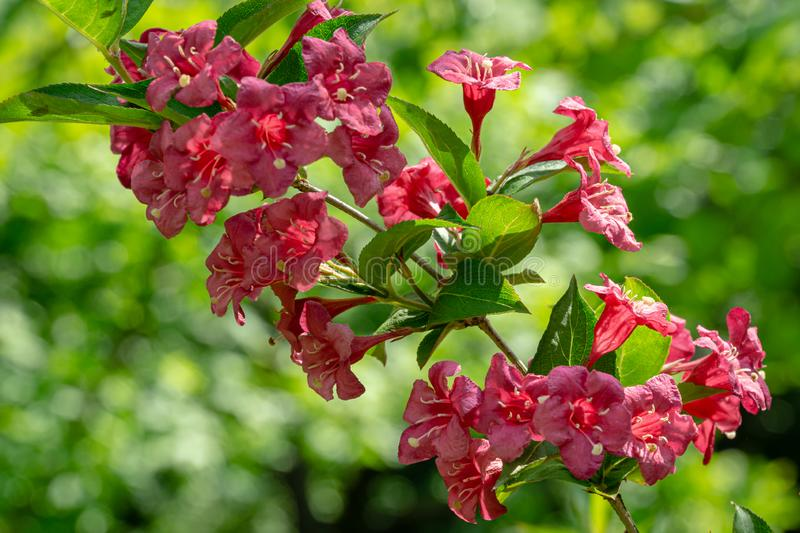 Beautiful branch of flowering Weigela Bristol Ruby. Selective focus and close-up beautiful bright pink flowers. Against the green bokeh of evergreen ornamental stock images
