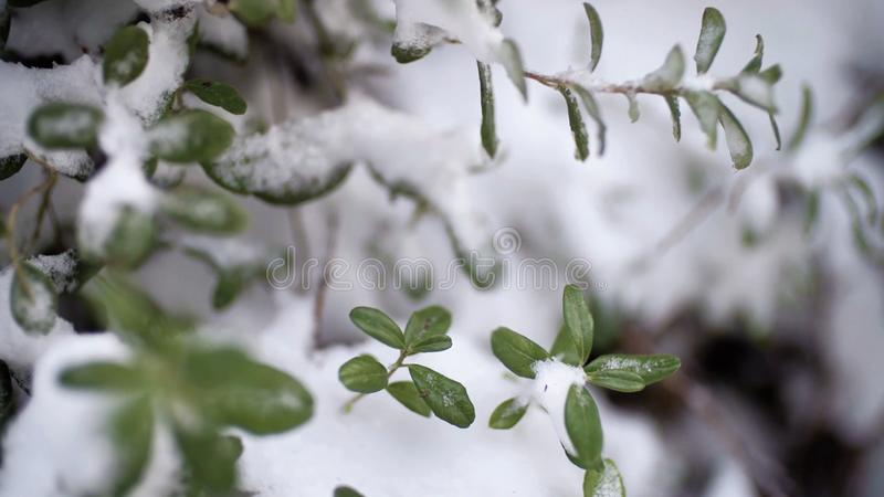 Beautiful branch with green leaves in late fall or early winter under the snow. First snow, snow flakes fall, close-up. Beautiful branch with green leaves in stock photography