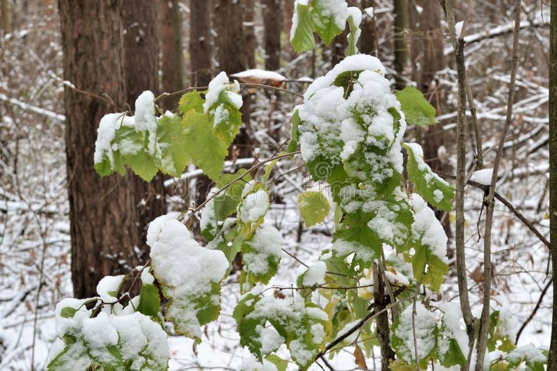 Beautiful branch with green leaves in late fall or early winter under the snow. First snow, snow flakes fall, close-up.  stock images