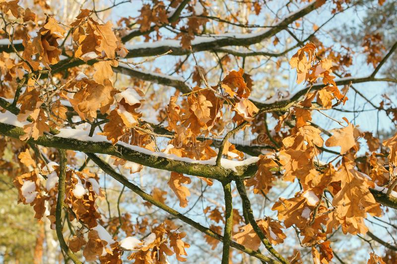 Beautiful branch with orange and yellow leaves in late fall or early winter under first snow. Natural winter background royalty free stock images