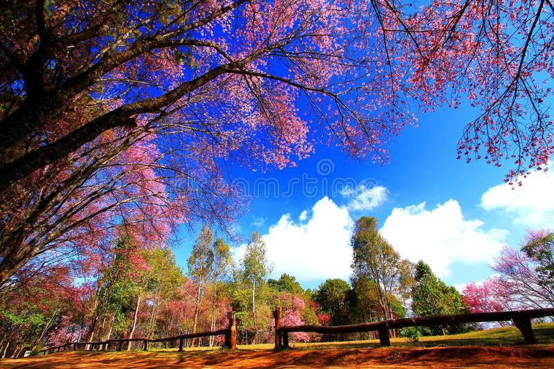 Beautiful branch pink flower or blooming wild Himalayan Cherry Sakura Thailand tree field royalty free stock photo