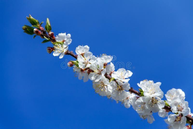 A beautiful branch of white apricot/cherry flowers stock photography