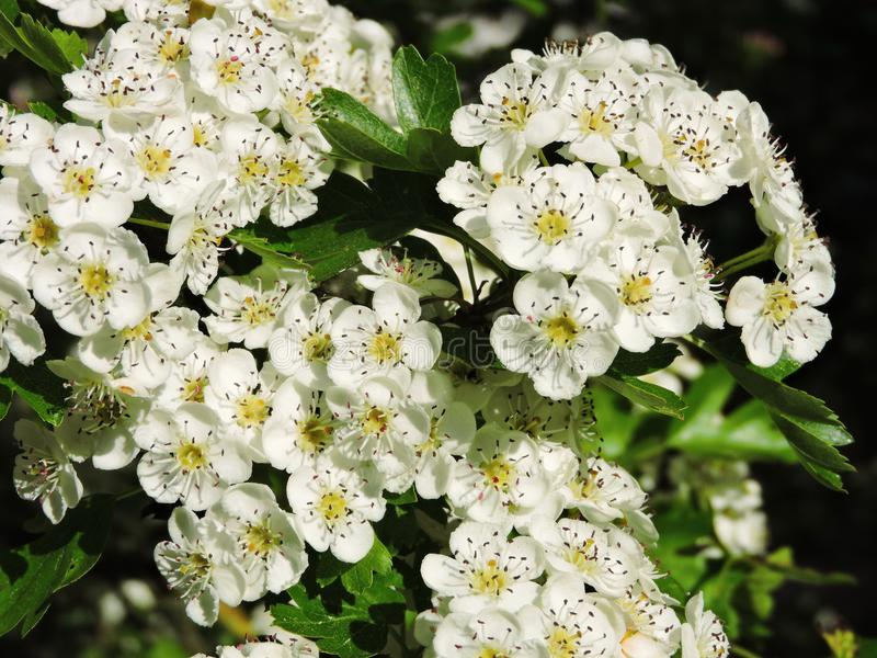 White blooming hawthorn in summer, Lithuania. Beautiful branches blooming hawthorn in spring royalty free stock images