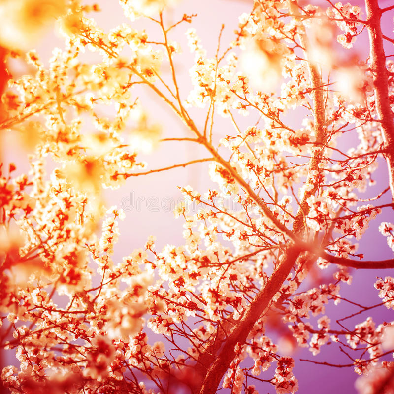 Beautiful Branches of Cherry Blossom in sunny day. Toned stock images