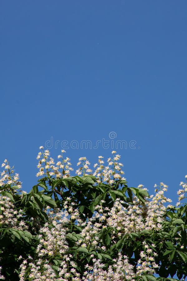 Beautiful branches with white horse chestnut flowers and green leaves against the blue sky stock images