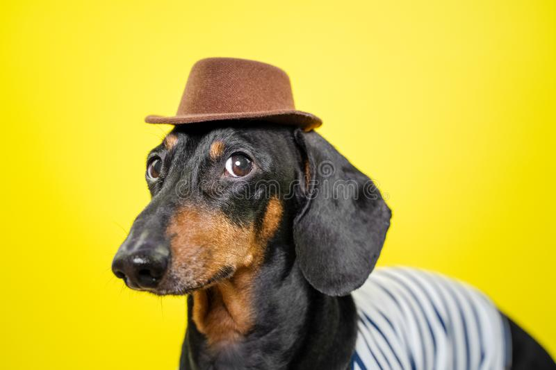 Beautiful breed dachshund dog, black and tan,   holding brown hat on head on  bright yellow background, curious expression of muzz royalty free stock photo