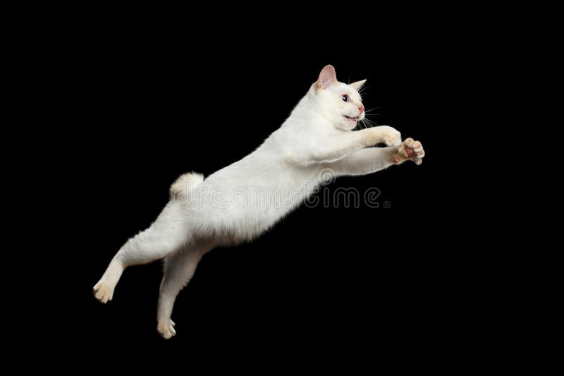 Beautiful breed without Tail Mekong Bobtail Cat Isolated Black Background. Cat of Breed Mekong Bobtail Attack Jumping in Action, Isolated Black Background, Color royalty free stock photos
