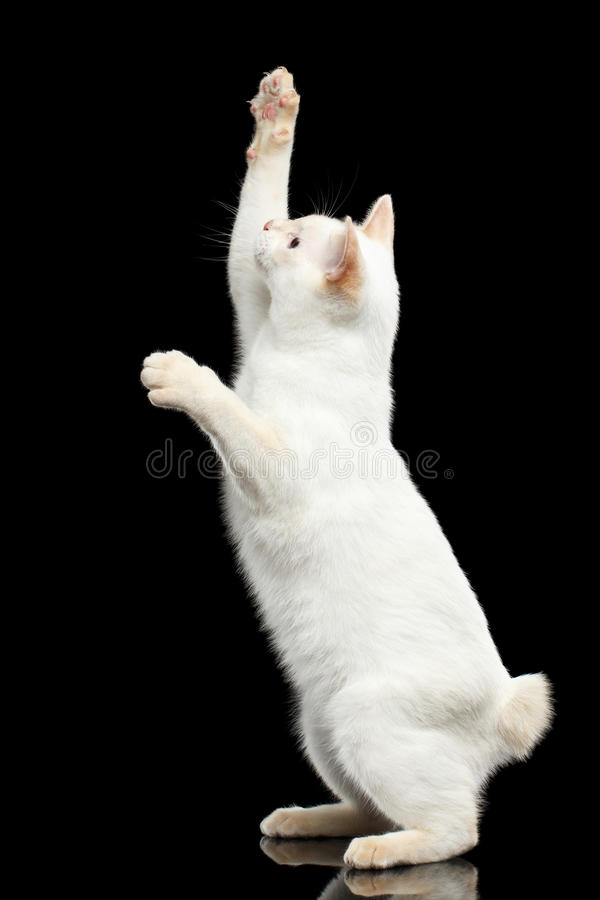 Beautiful breed without Tail Mekong Bobtail Cat Isolated Black Background. Curious Cat of Breed Mekong Bobtail without tail, Standing on Hind Legs to Catch prey royalty free stock photography