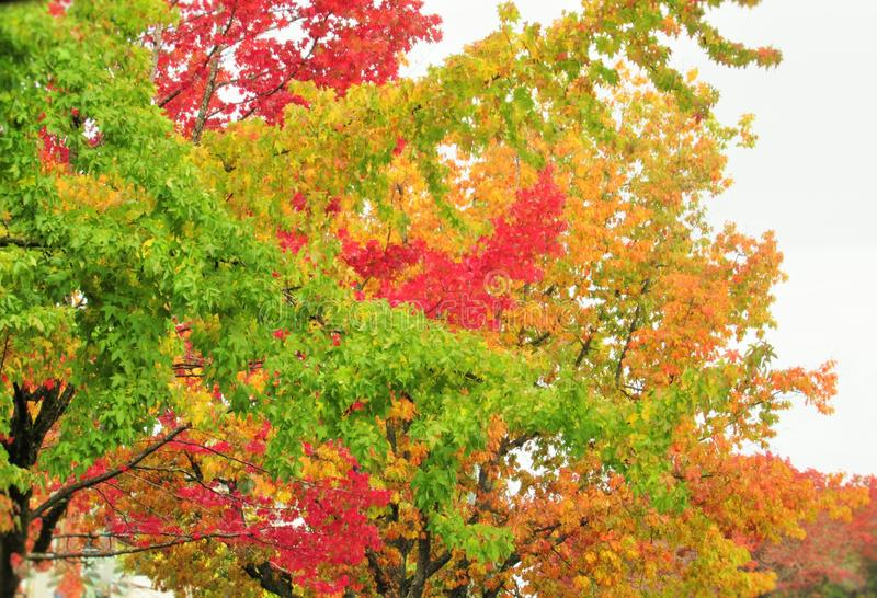 Beautiful Autumn Colorful Leaves And Trees Scenery In Urban Vancouver 2019. Beautiful Bright Autumn Colorful Of Red, Yellow, Green, Orange  Leaves And Trees royalty free stock images